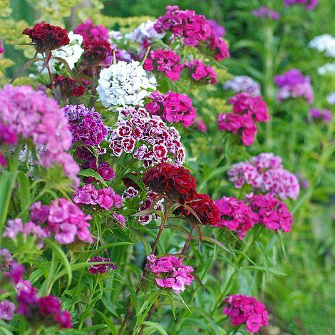 Dianthus barbatus 'Excelsior Mixed' at beechmount garden centre