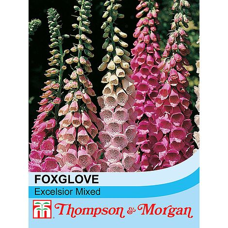 Foxglove 'Excelsior Hybrid Mixed' at beechmount garden centre
