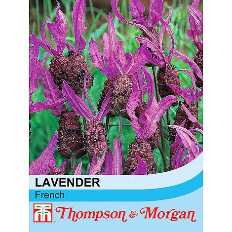 Lavender (French) seeds at beechmount garden centre