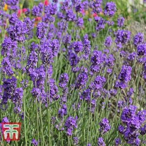 Lavender 'Munstead' seed at beechmount garden centre