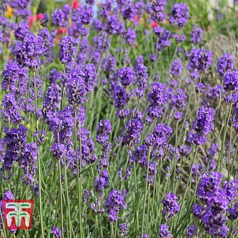 Lavender 'Munstead' seed at beechmount garden centre
