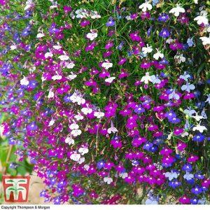Lobelia 'Cascade Improved Mixed' at beechmount garden centre