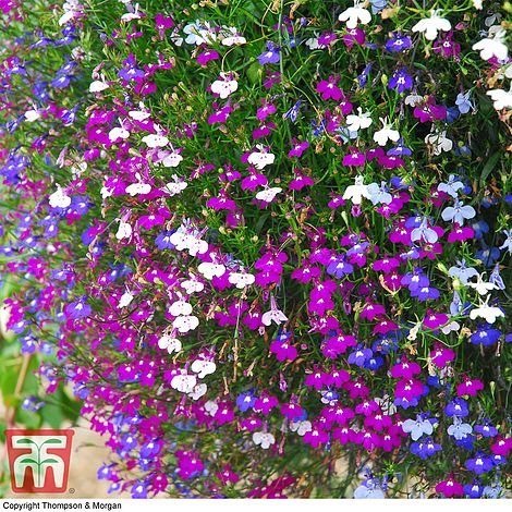 Lobelia 'Cascade Improved Mixed' at beechmount garden centre