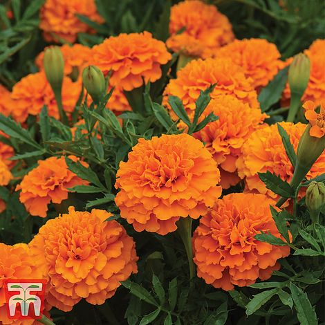Marigold 'Boy O' Boy Orange' at beechmount garden centre