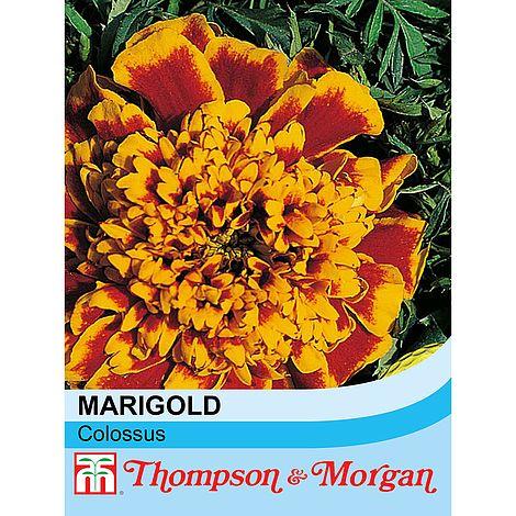 Marigold 'Colossus' at beechmount garden centre