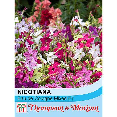 Nicotiana x sanderae 'Eau de Cologne Mixed' F1 Hybrid at beechmount garden centre