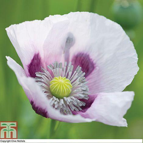 Poppy 'Album' at beechmount garden centre