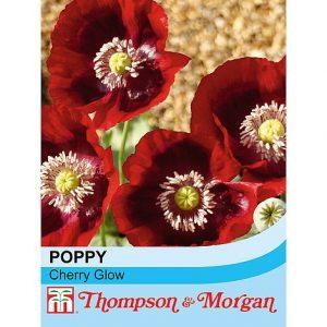 Poppy 'Cherry Glow' at beechmount garden centre