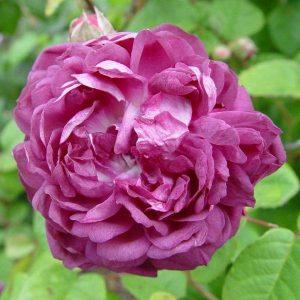 rosa cardinal de richelieu st beechmount garden centre