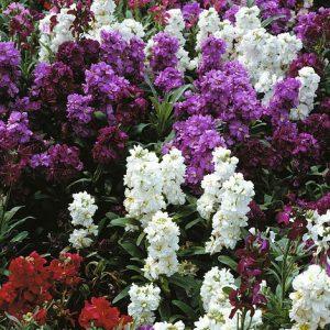 Stock 'Brompton Mixed' at beechmount garden centre