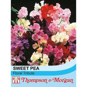 Sweet Pea 'Floral Tribute' at beechmount garden centre