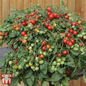 Tomato 'Red Profusion' at beechmount garden centre