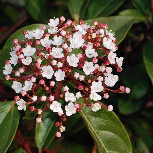 viburnum tinus at beechmount garden centre