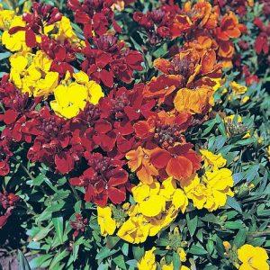 Wallflower 'Brilliant Bedder Series Mixed' at beechmount garden centre