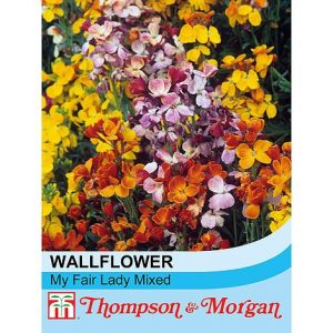 Wallflower 'My Fair Lady Mixed' at beechmount garden centre