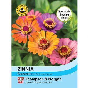 Zinnia 'Forecast' at beechmount garden centre