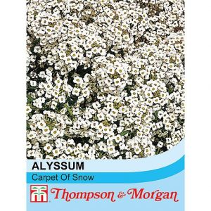 alyssum carpet of snow seeds at beechmount garden centre