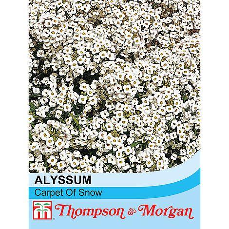 alyssum carpet of snow seeds at beechmount garden centre