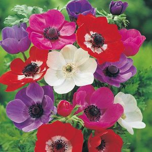 anemone coronaria de caen mixed at beechmount garden centre