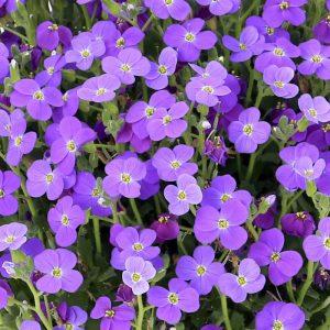 aubrieta audrey blue shades at beechmount garden centre
