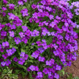 aubrieta blue at beechmount garden centre