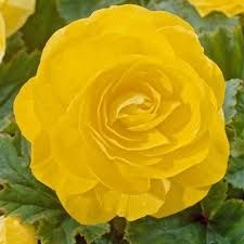 begonia yellow at beechmount garden centre