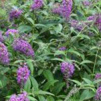 buddleia-purple-chip at beechmount garden centre