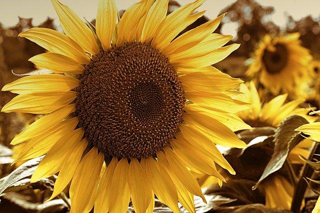 buy sunflower seeds in beechmount garden centre