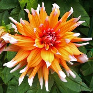 colour spectacle dahlia at beechmount garden centre