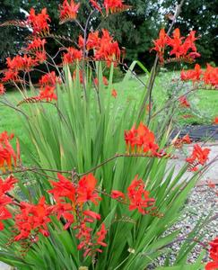 crocosmia Lucifer bulb at beechmount garden centre