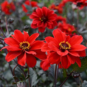 dahlia bishop of llandaff at beechmount garden centre