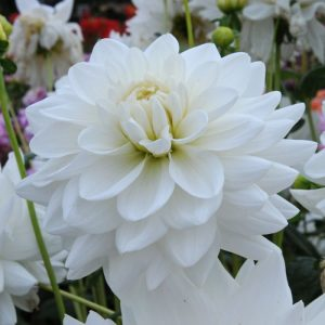 dahlia eternal snow bulb at beechmount garden centre