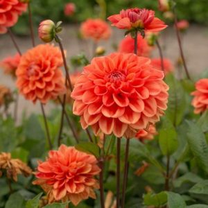 dahlia-orange-nugget bulb at beechmount garden centre