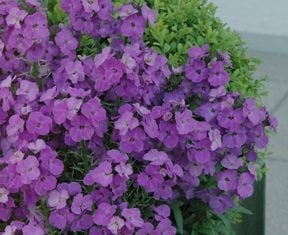 erysimum poem lilac at beechmount garden centre