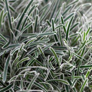 ficinia ice crystal at beechmount garden centre