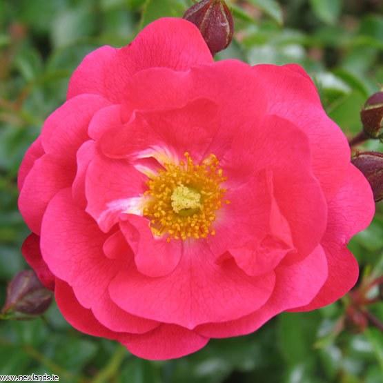 flower carpet pink supreme at beechmount garden centre