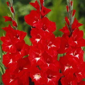 gladioli traderhorn at beechmount garden centre