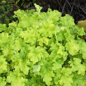 heuchera lime marmalade at beechmount garden centre