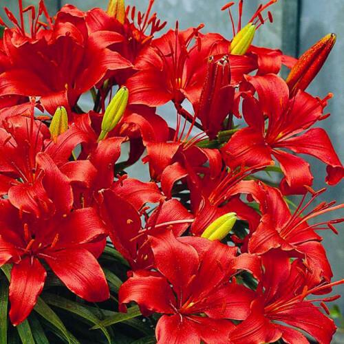 lilium asiatic red at beechmount garden centre