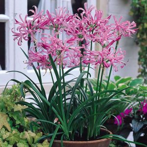 nerine-Bowdenii-bulbs at beechmount garden centre