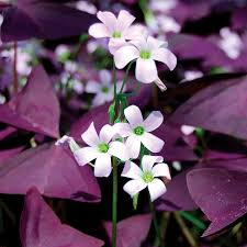 oxalis triangularis bulb at beechmount garden centre