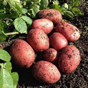 rooster seed potato at beechmount garden centre