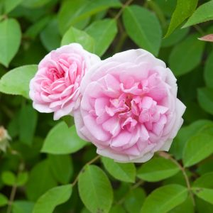 rosa blairii no 2 at beechmount garden centre