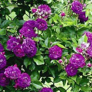 rosa blue magenta at beechmount garden centre