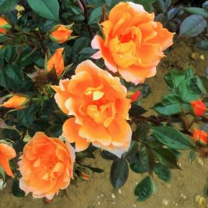 rosa bridge of sighs at beechmount garden centre