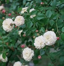 rosa felicite et perpetue at beechmount garden centre