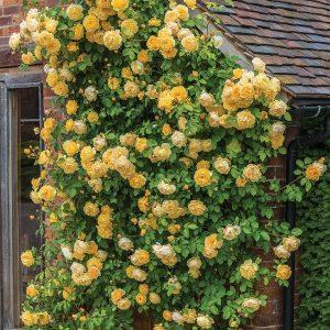 rosa graham thomas climber at beechmount garden centre