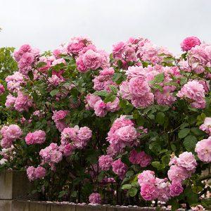 rosa high hopes climber at beechmount garden centre