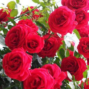 rosa sympathie at beechmount garden centre