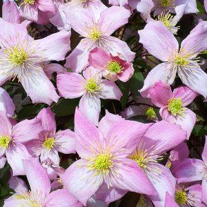 Clematis-Montana-Fragrant-Spring at beechmount garden centre
